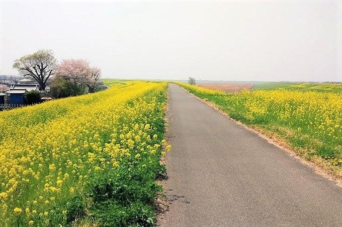 菜の花のサイクリングロード