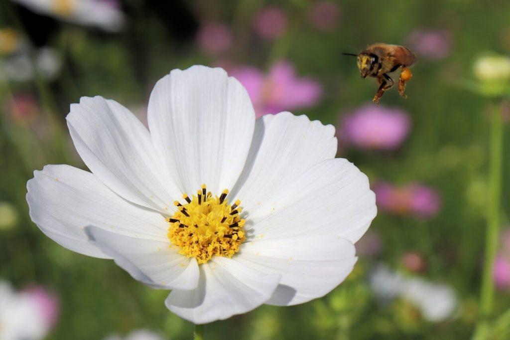 一眼レフカメラ、EOS Kiss X9の作例、コスモスとミツバチ