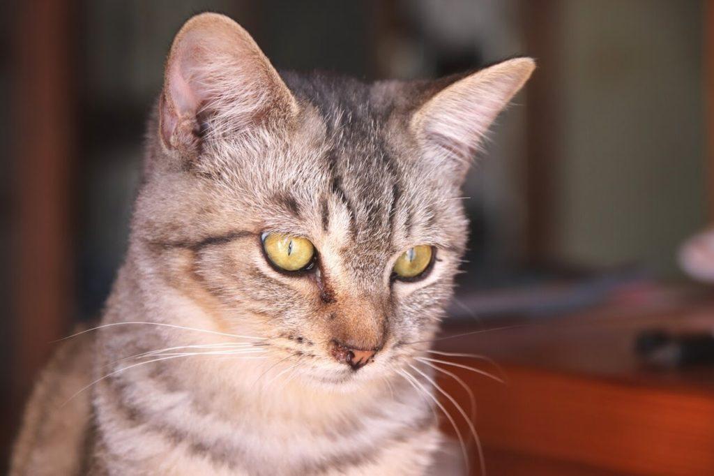 一眼レフカメラ、EOS Kiss X9の作例、猫のアップ
